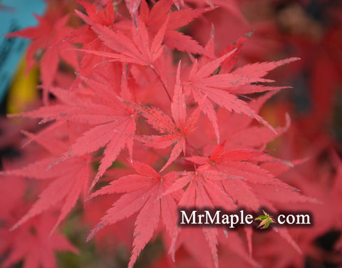 Acer palmatum 'Glowing Embers' by Michael Dirr Japanese Maple