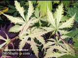 Acer palmatum 'Grandma Ghost' Japanese Maple