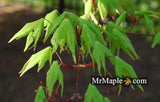 Acer palmatum 'Green Star' Japanese Maple