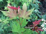 Acer palmatum 'Green Tea' Japanese Maple