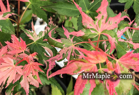 Acer palmatum 'Harold's Pink And White' Japanese Maple