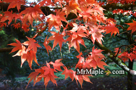 Acer palmatum 'Heptalobum' Japanese Maple