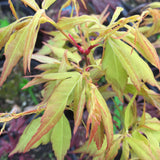 Acer palmatum 'Hanezu hagoromo' Orange Hagoromo Japanese Maple