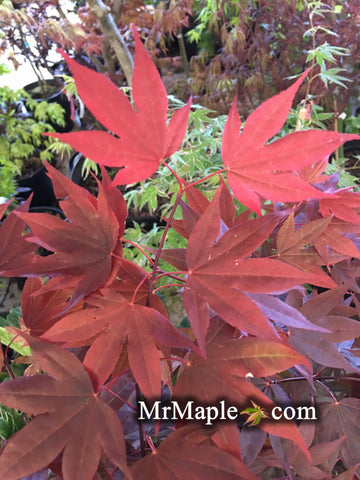 Acer palmatum 'Italy Red' Bright Red Japanese Maple
