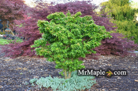 Acer palmatum 'Jade Dragon' Dwarf Japanese Maple Tree