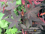 Acer palmatum 'Jet Black' Deep Dark Red Japanese Maple