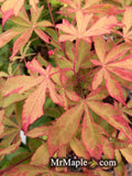 Acer palmatum 'Kin pai' Japanese Maple