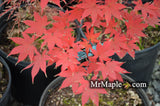 Acer palmatum 'Korean Gem' Japanese Maple