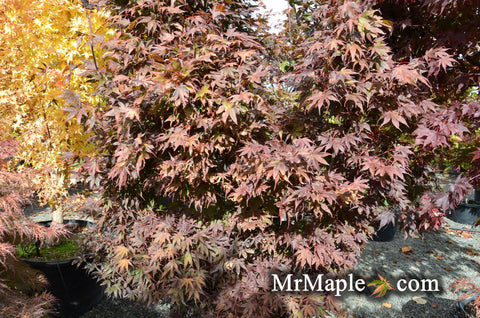 Acer palmatum  'Livy' Dwarf Red Japanese Maple