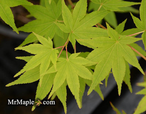 The Mrmaple Files Japanese Maple Information Tagged Japanese