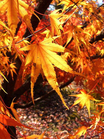 Buy Acer Palmatum Nishiki Gawa Pinebark Japanese Maple Mr Maple