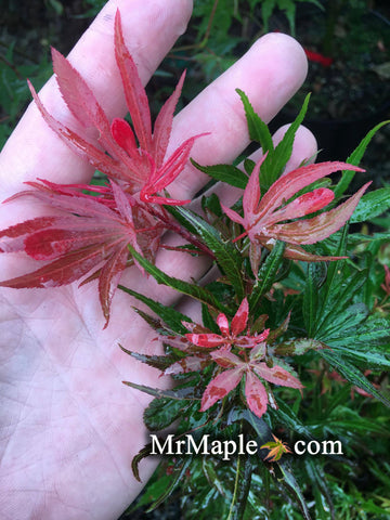 Acer palmatum 'Okken's Red Mini' Japanese Maple