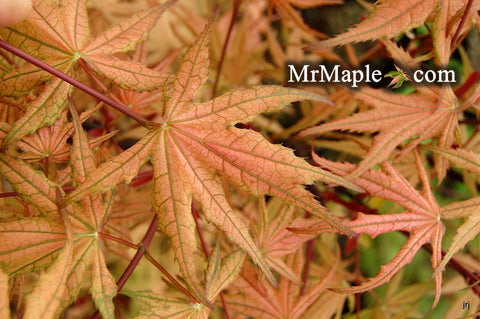 Acer palmatum 'Olsen's Frosted Strawberry' Japanese Maple