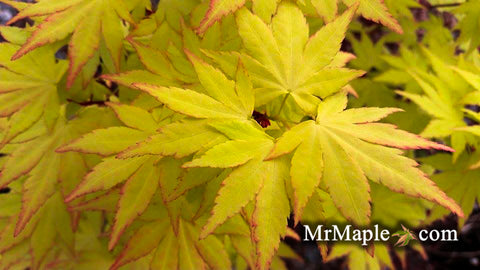 Buy Acer Palmatum Orange Dream Japanese Maple Mr Maple Buy