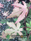 Acer palmatum 'Pastel' Japanese Maple