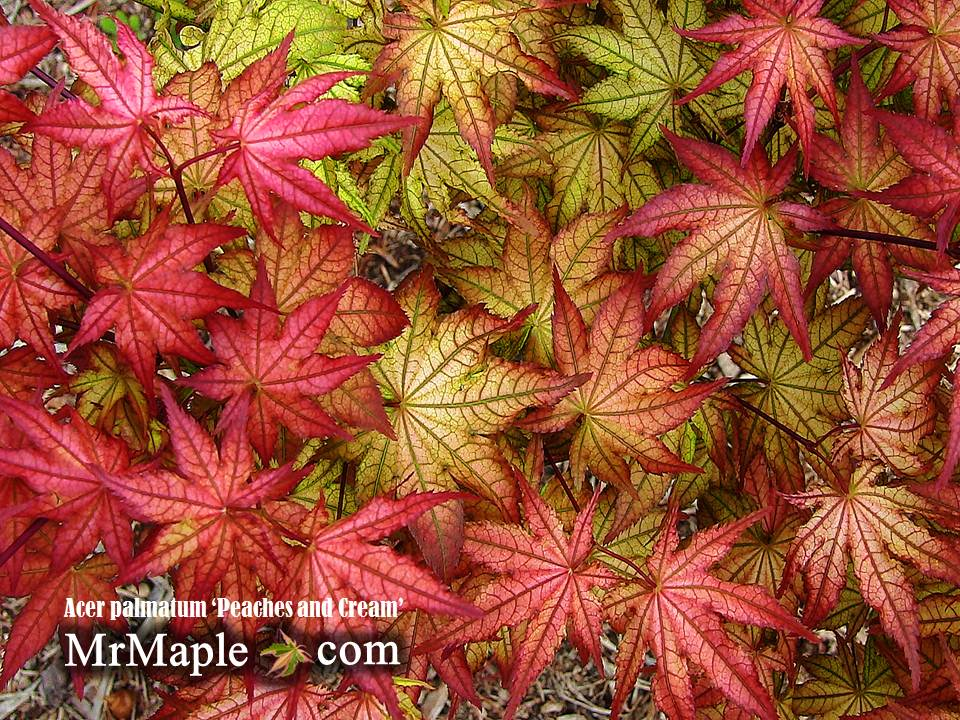 Buy Acer Palmatum Peaches And Cream Japanese Maple Mr Maple