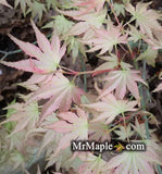 Acer palmatum 'Peter's Choice' Japanese Maple