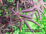 Acer palmatum 'Peve Starfish' Japanese Maple