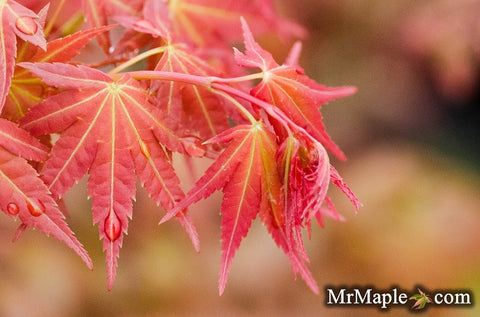 Acer palmatum 'Phoenix' Japanese Maple
