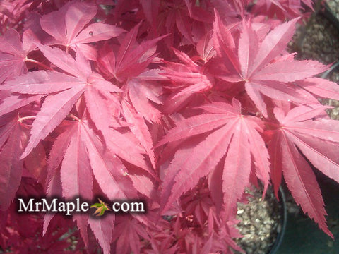 Acer palmatum 'Pixie' Japanese Maple
