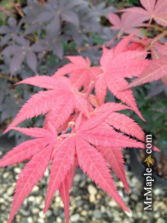 Acer palmatum 'Red Baron' Japanese Maple