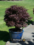 Acer palmatum 'Rhode Island Red' Dwarf Bloodgood Japanese Maple