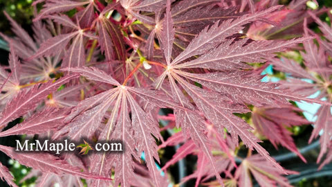 Acer palmatum 'Sherwood Elfin' Dwarf Japanese Maple