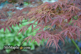 Acer palmatum 'Shiraname' Japanese Maple