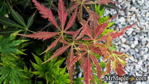 Acer palmatum 'St. Jean' Japanese Maple