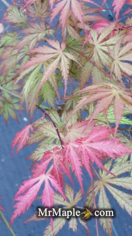 Acer palmatum 'Strawberry Fields' Japanese Maple