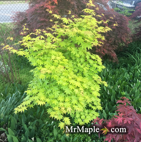 Buy Acer Palmatum Summer Gold Japanese Maple Mr Maple Buy