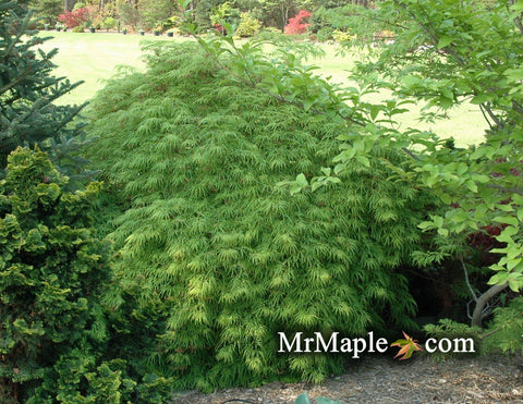 Buy Acer Palmatum Dissectum Waterfall Japanese Maple Mr Maple
