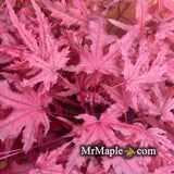 Acer palmatum 'Waveleaf' Japanese Maple
