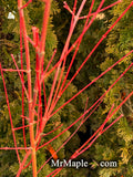 Acer palmatum 'Winter Orange' Orange Coral Bark Japanese Maple