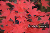 Acer palmatum 'Yellow Bird' Japanese Maple