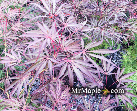 Acer palmatum 'Crimson Princess' Dwarf Weeping Japanese Maple