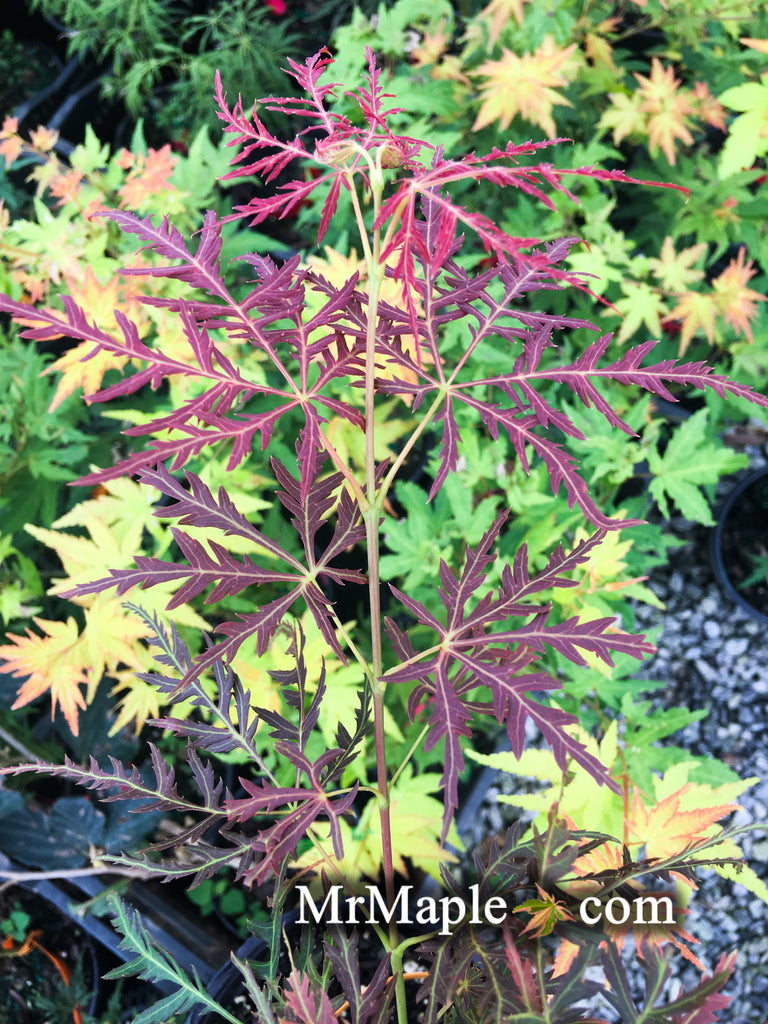 Acer Palmatum Dragons Fire Weeping Japanese Maple