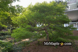 Acer palmatum 'Germaine's Gyration' Weeping Japanese Maple