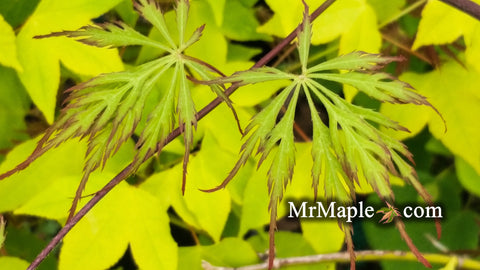 Acer palmatum 'Marielle' Japanese Maple