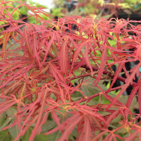 Acer palmatum 'Scarlet Princess' Miniature Japanese Maple
