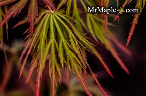 Acer palmatum 'Shu shidare' Weeping Japanese Maple