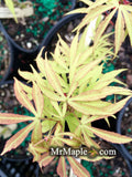 Acer pubipalmatum 'Flying Daggers' Chinese Maple