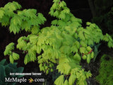 Acer shirasawanum 'Aureum' Golden Full Moon Japanese Maple