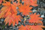 Acer shirasawanum '6910' Full Moon Japanese Maple