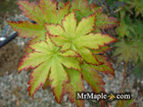 Acer sieboldianum 'Sode-no-uchi' Small Leaf Full Moon Japanese Maple