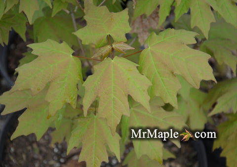 Acer skutchii - Rare Mexican Cloud Forest Sugar Maple