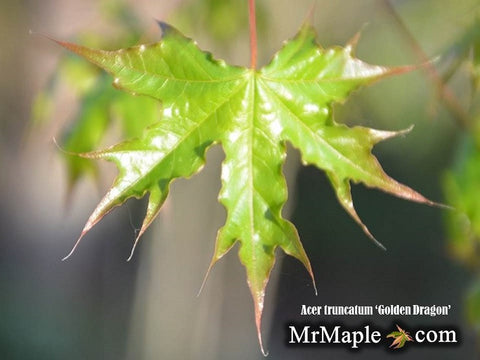 Acer truncatum 'Golden Dragon' Shantung Maple