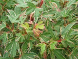 Acer palmatum 'Pink Princess' Dwarf Pink Variegated Japanese Maple