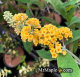 Buddleia x weyeriana 'Honeycomb' Yellow Butterflybush