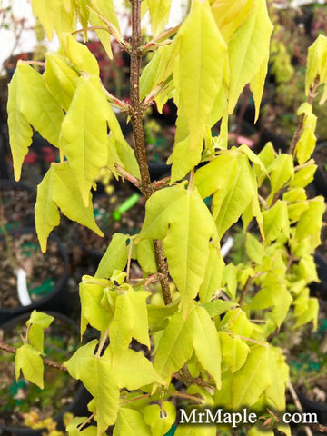 Buy Michael Steinhardt Golden Trident Maple
